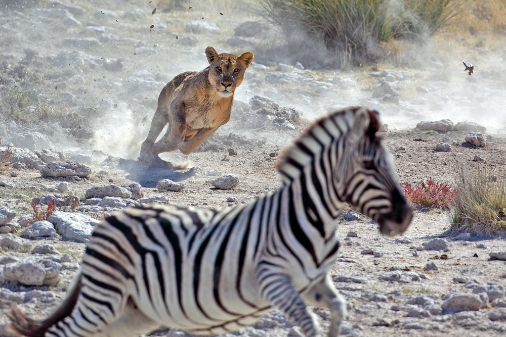 zebras and lions - photo #20