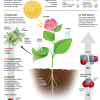 Photosynthesis-Infographic-Kids-Discover