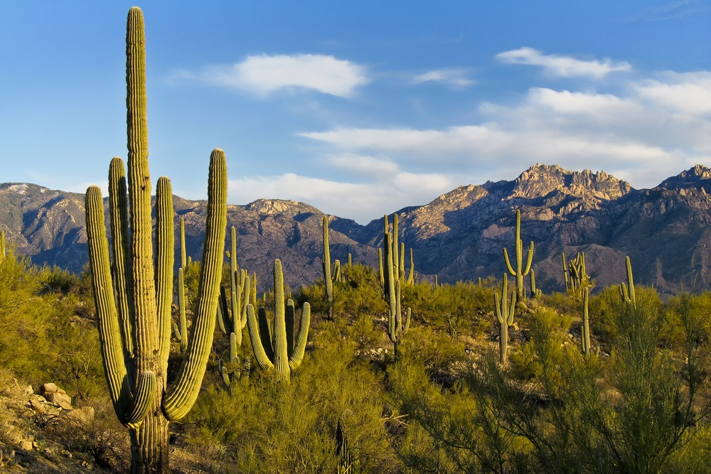 The saguaro [suh-WAHR-oh] cactus grows in the deserts of the southwestern United States. When it rains, the trunk of the saguaro can expand to hold water. Sharp spines defend it from animals who might try to break open the saguaro and take a drink. (Nelson Sirlin/ Shutterstock)