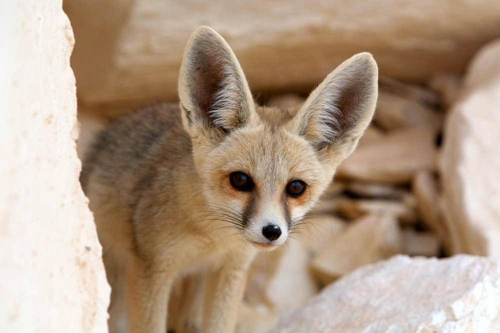 The smallest fox in the world, the fennec fox lives in Africa's Sahara desert. Its most obvious adaptation to desert life is its oversized ears. With blood vessels very close to the skin surface, the big ears help the fox radiate body heat and keep cool.  What is unseen is the fox's ability to conserve water—it rarely needs to take a drink. (Cat Downie/ Shutterstock)