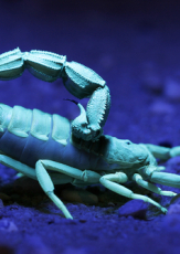 What Makes Scorpions Glow in Ultraviolet Light?