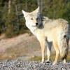 When wolves were re-introduced to Yellowstone, the effects cascaded down through the entire ecosystem. (Marc Schauer / Shutterstock)